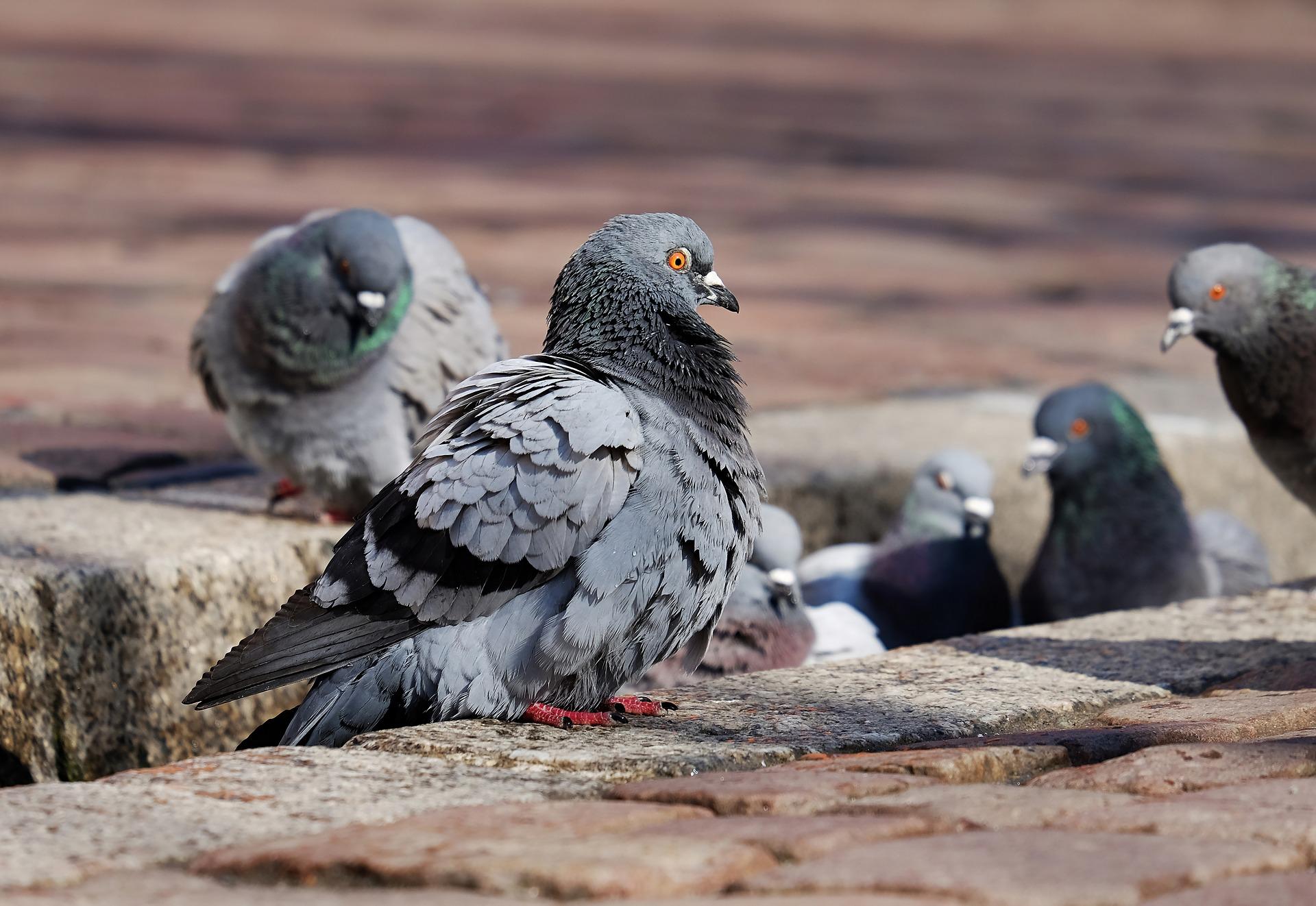Hrănirea porumbeilor pe domeniul public a fost interzisă în Timișoara